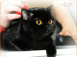 Британский кошка. Окрас: черный.