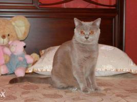 Британский кошка. Окрас: лиловый.