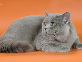 Британский кот. Окрас: голубой.