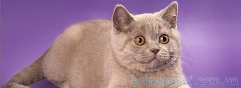 Британские котята в Одесса