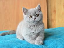 Британский кот. Окрас: лиловый.